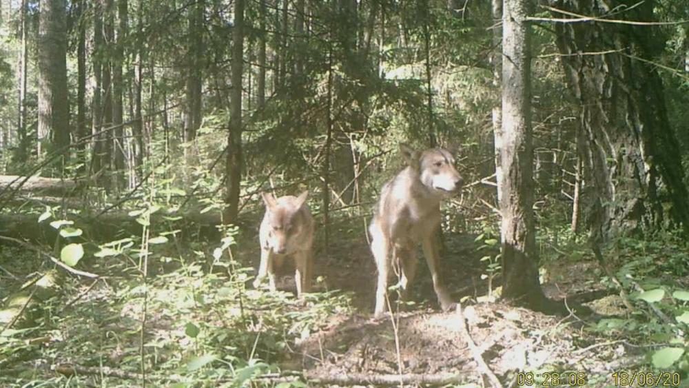 4 Волки возле норы барсука-0-01-04-689.jpg